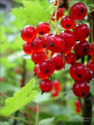 Таким образом, в отличие от черной смородины у красной основной урожай располагается ярусами на границах приростов и...