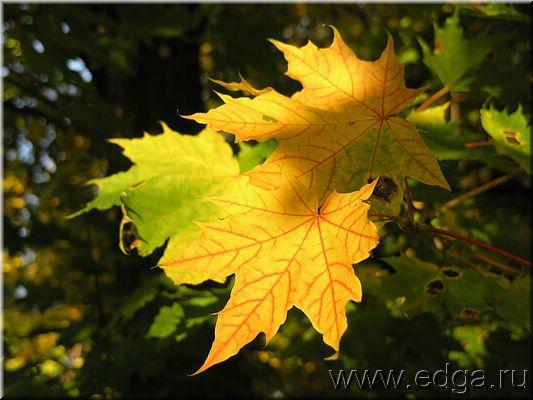 К чему снятся листья клена