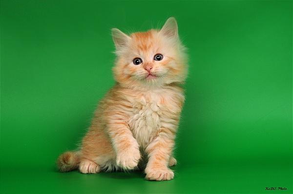 СУПЕРЦЕНА.  Рыжий-Рыжий сибирский котенок.