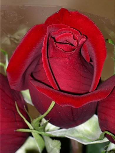 Красная роза стихи