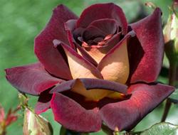 Розы цвета заката мишель ри стихи ру