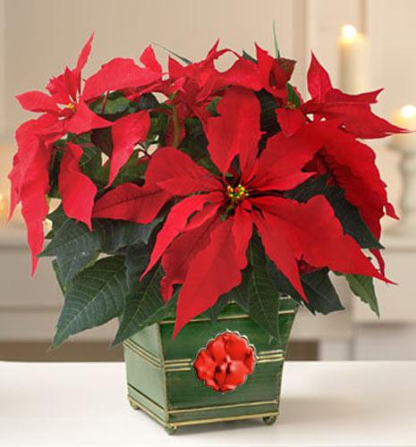 фото рождественник цветок