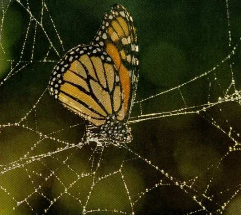 паук сонник ловить паука