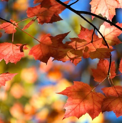 Posted in.  Клён.  Род.  Acer) объединяет около 150 видов листопадных деревьев и...