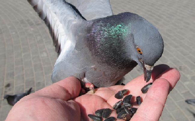 Чем кормить дикого голубя в домашних условиях