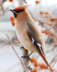 ... b птицы /b- b птицы /b Pоссии Певчие b птицы/b.