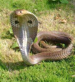 фото кобра королевская