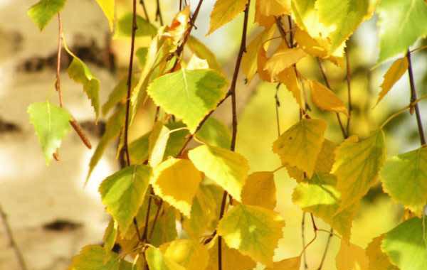 Осенние листья берёзы Бесплатные изображения для начальной школы в 1 классе.