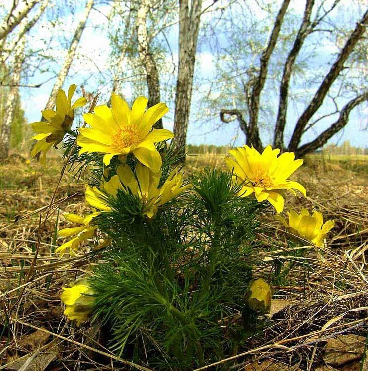 лесные цветы башкирии желтым цветом фото оловянные