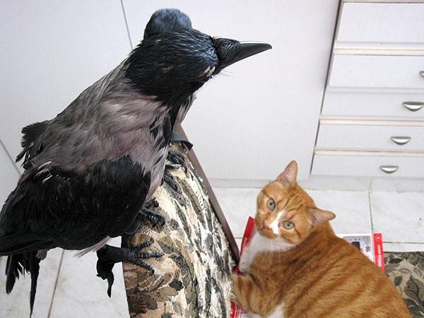 Кот и две вороны