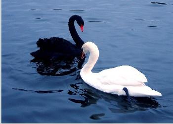 лебедь чёрный фото