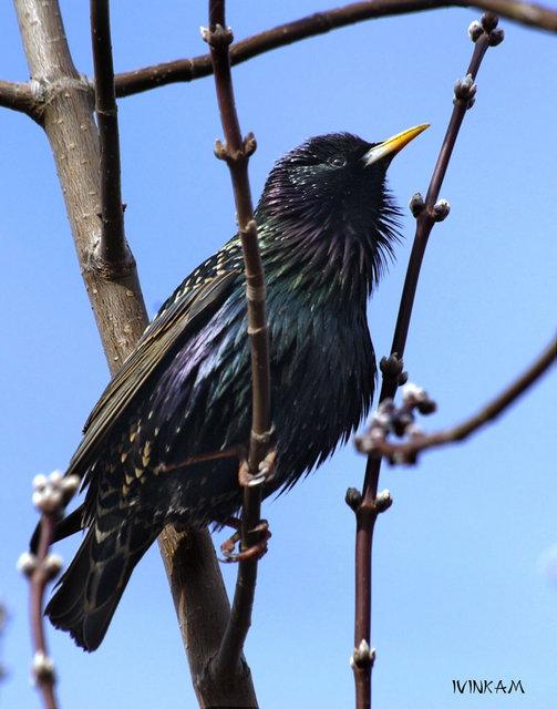 Скворец — птица. Описание скворца с картинками.