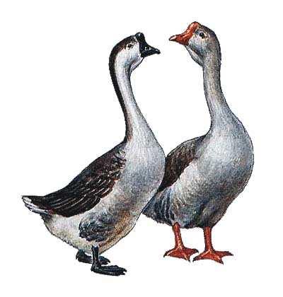 картинки для детей гуси