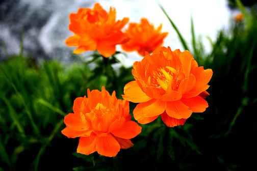 Фото природа цветы жарки