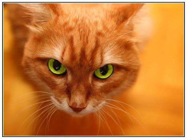 фото кошка рыжая