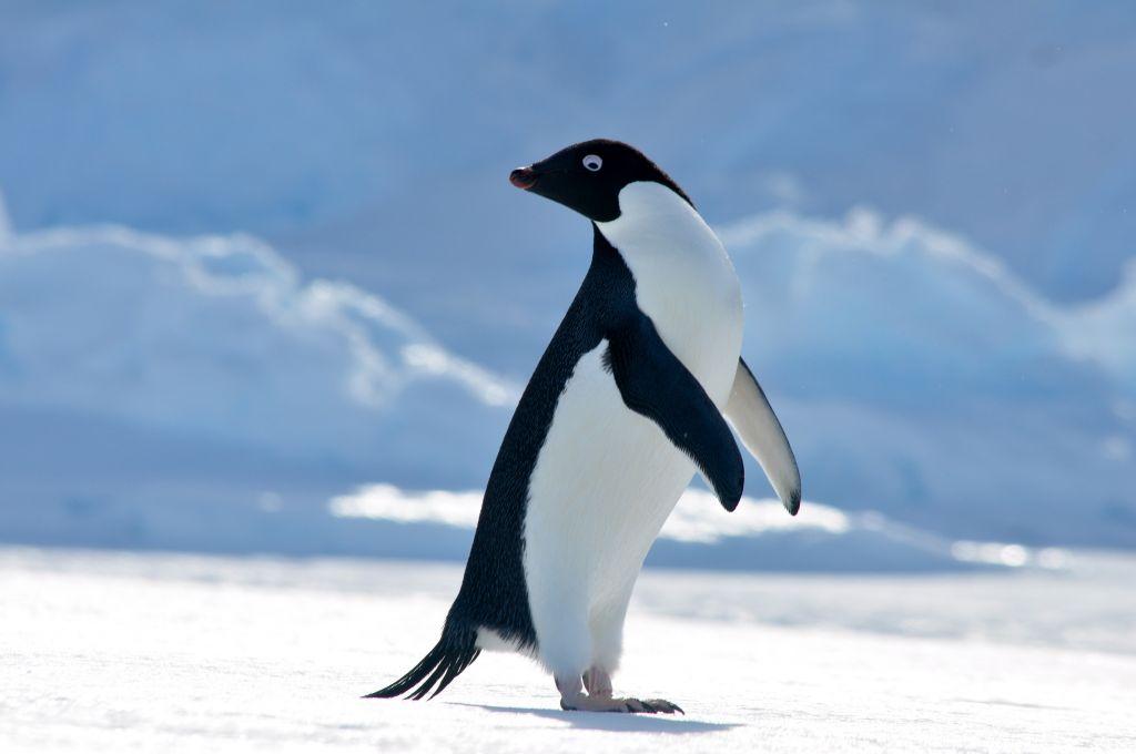 пингвин адели фото более европейский вариант