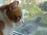 Голубок и котяра