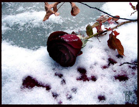 фото розы на снегу и след человека отличается