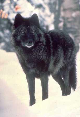 скачать черный волк торрент - фото 11