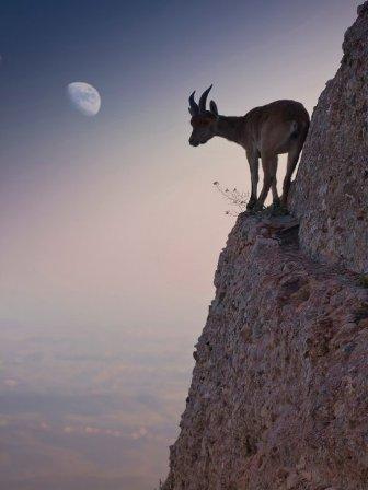 Картинки по запросу Горная коза