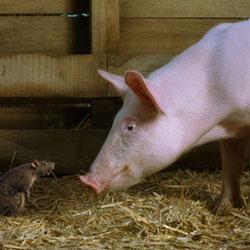 Чем лечить свиней севшим на ноги