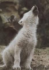 Скачать Песню Одинокий Волк