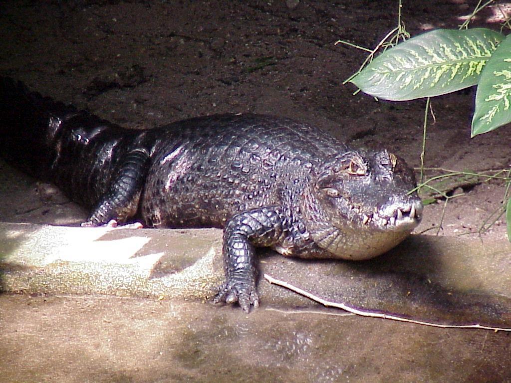 бисероплетение крокодила - Вышивка бисером.