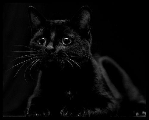 фото красивых кошек черных