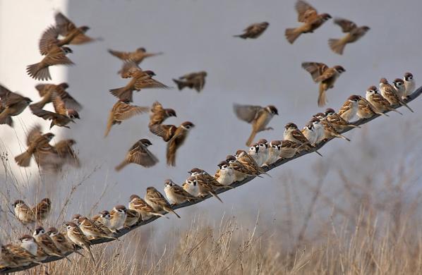 воробьи клюют зерно фото