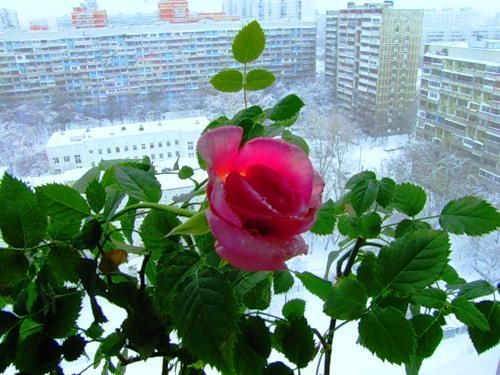 Условия содержания домашней розы - Адаптация комнатных роз. Уход за розой в домашних условиях