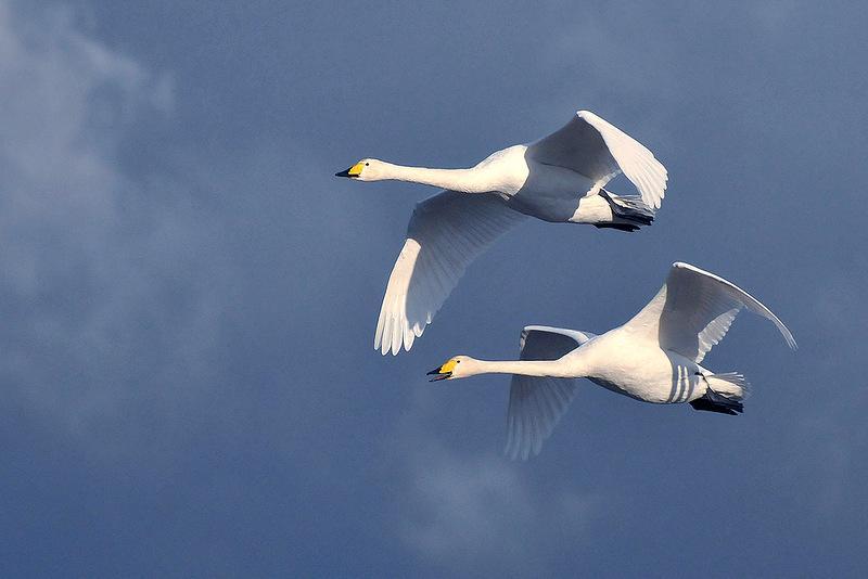 Картинка полет лебедя