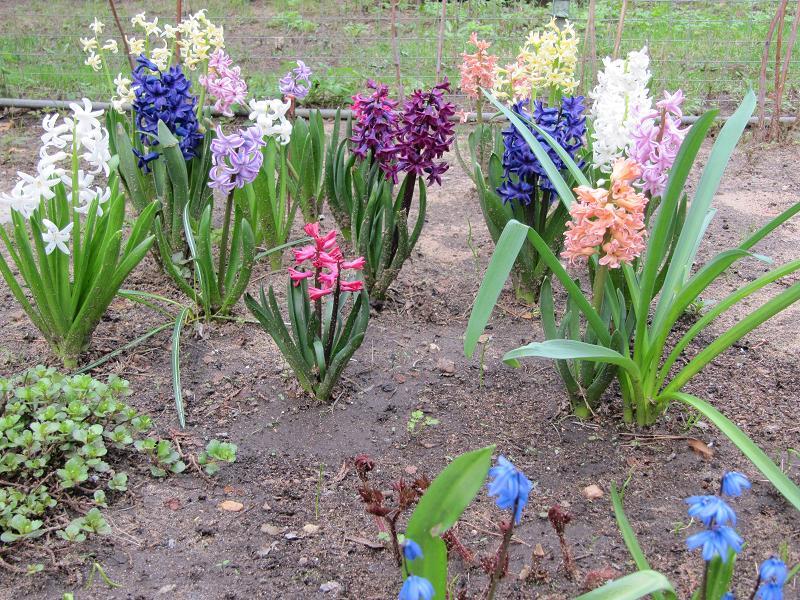 Крокус выращивание и уход в саду 56
