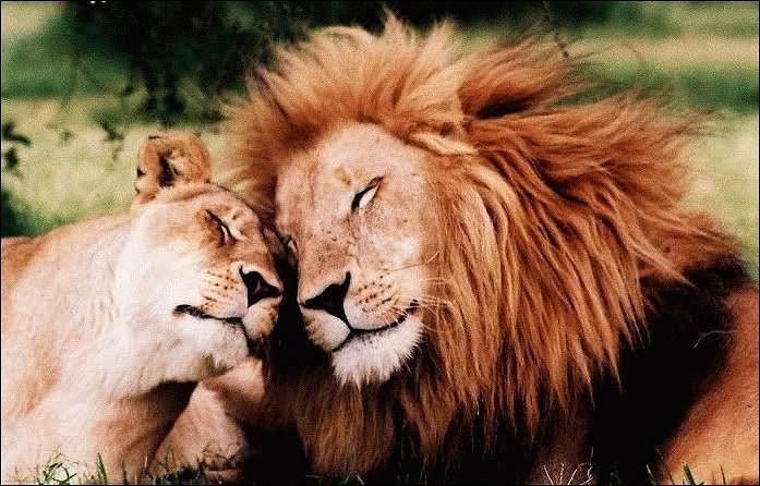 Сексуальный партнер для льва