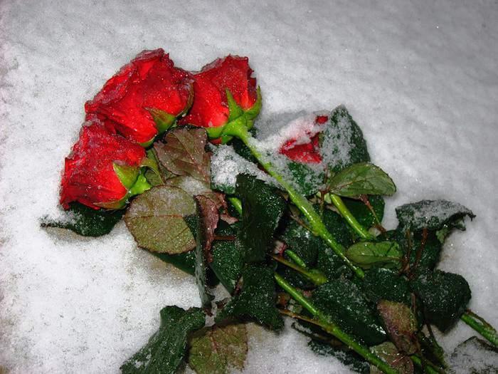 Загрузить, розы на снегу картинки ночью