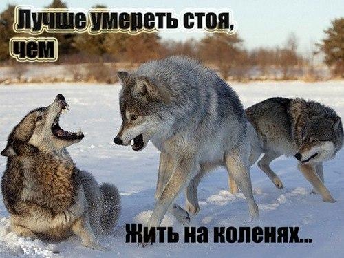 Фотографии волка одиночки