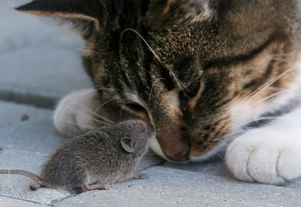 Прикольная картинка кот и мышь