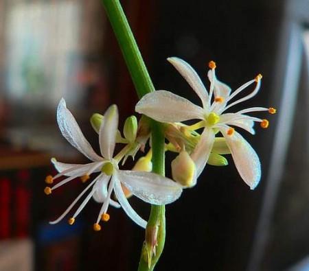 Хлорофитум хохлатый цветка