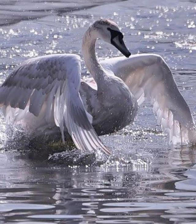 Открытки днем, лебедь гифка