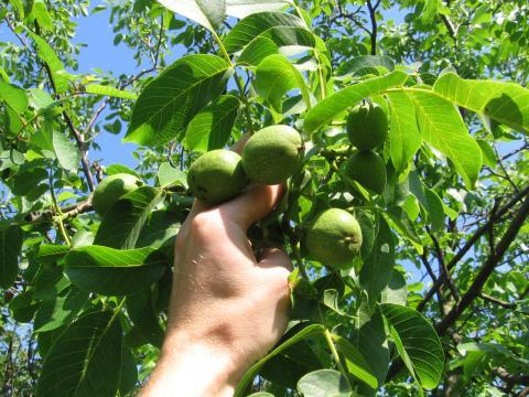 Вырастить грецкий орех домашних условиях