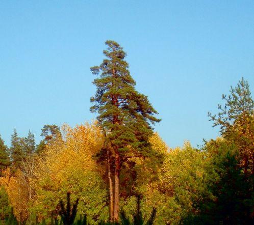 фото сосны в сентябре