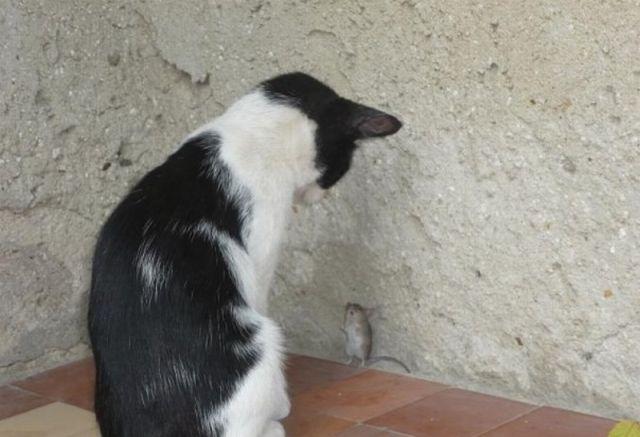 какая кошка лучше всех ловит мышей и крыс