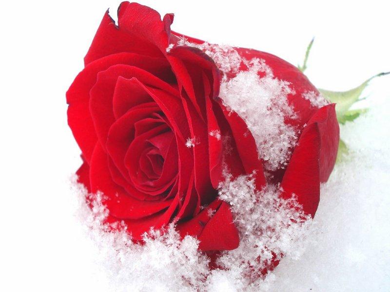 Розы в снегу открытки, картинки