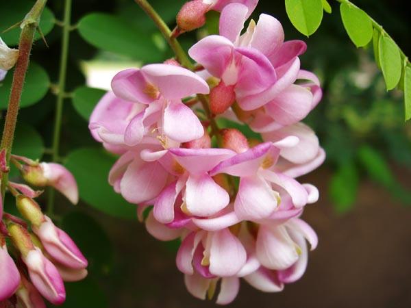 Акация с розовыми цветами