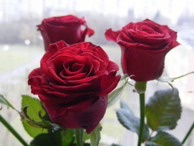 Стихи. красные розы