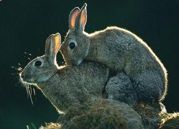 как трахаться как кролик