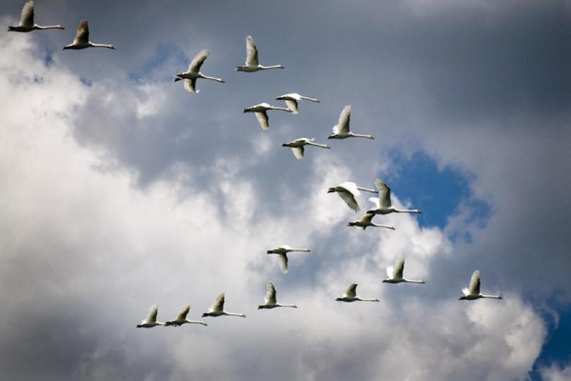 Открытка летящая стая гусей в синем небе