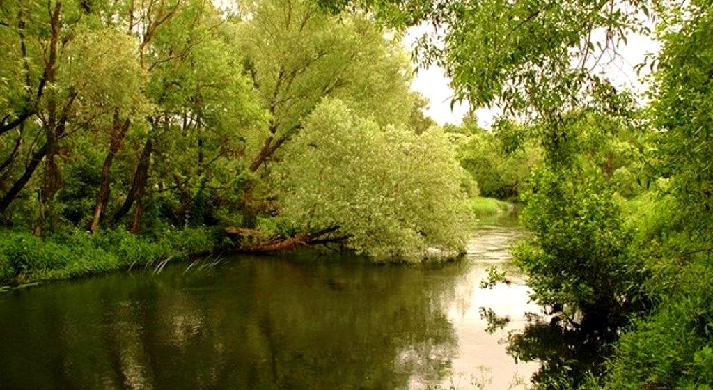 Куст ракиты над рекой
