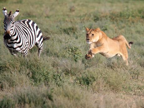 Zebras  The Lion Guard Wiki  FANDOM powered by Wikia