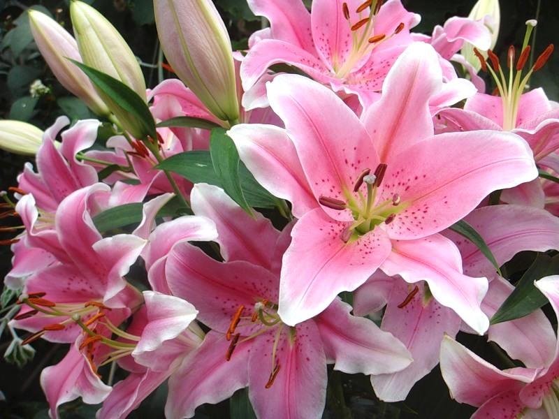 Фото цветы лилии с днем рождения
