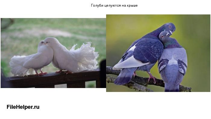 golubi-tseluyutsya-na-krishe